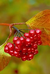 The berries of Viburnum opulus - Guelder rose