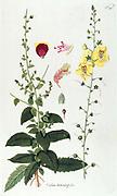Hand painted botanical study of a Celsia betonicifolia flower anatomy from Fragmenta Botanica by Nikolaus Joseph Freiherr von Jacquin or Baron Nikolaus von Jacquin (printed in Vienna in 1809)