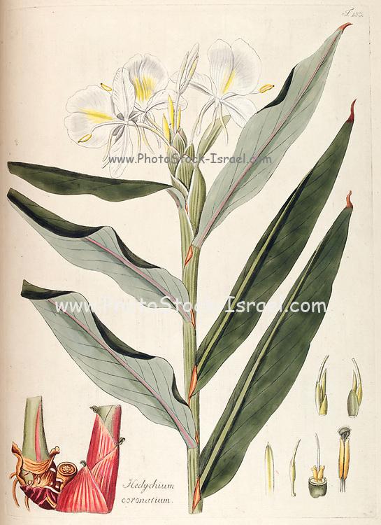 Hand painted botanical study of a Hedychium coronarium (white garland-lily, 'awapuhi-ke'oke'o, gingerlily, white ginger) flower anatomy from Fragmenta Botanica by Nikolaus Joseph Freiherr von Jacquin or Baron Nikolaus von Jacquin (printed in Vienna in 1809)