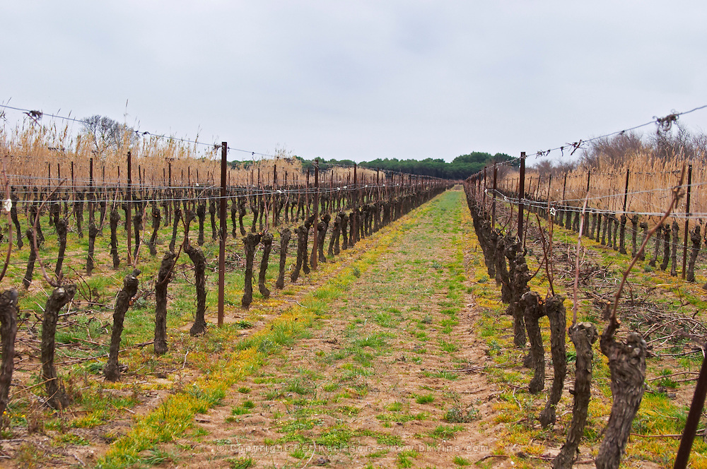 Domaine Le Nouveau Monde. Terrasses de Beziers. Languedoc. Vines trained in Guyot cane pruning. Terroir soil. In the vineyard. France. Europe. Sand.