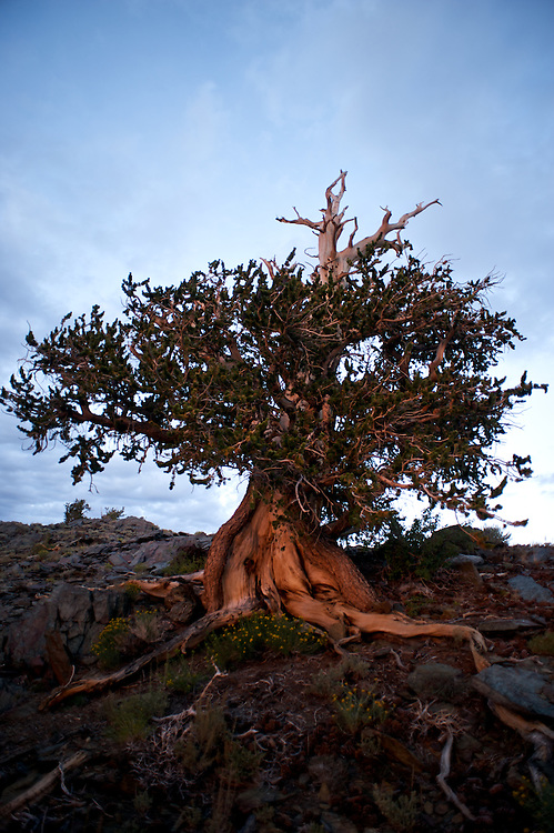 The Bristlecone Pine trees are thought to be the oldest living organisms on earth, living to well over 4,000 years. Because the grow in dry soils and amidst cold winds they grow very slowly and the wood is extremely dense. The oldest trees began to grow during the time of the Egyptian Pyramids. They are old like Methuselah.