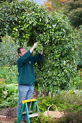 Glenn Facer picking Granny Smith apples in the kitchen garden at Chatsworth