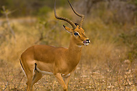 Impala rams, Kruger National Park, South Africa