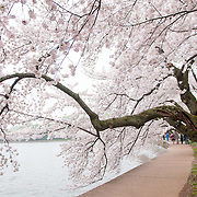 Washington DC's famous Yoshino Cherry Blossoms around the Tidal Basin at full bloom.
