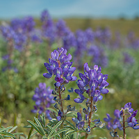 Lupines grow on a hillside in the Upper Missouri River Breaks National Monument in central Montana.