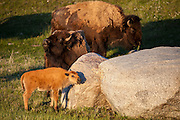 Bison calf scratching on boulder in Yellowstone National Park