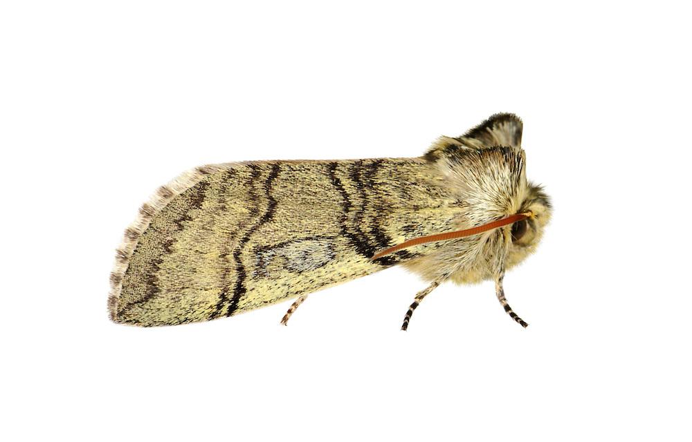 Yellow Horned - Achlya flavicornis<br /> 65.016 BF1659