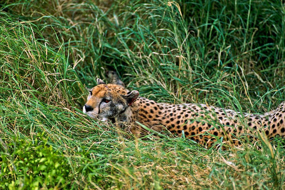 A cheetah lurking in the high grasses.
