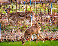 Doe and fawn (winter coat) in and outside my wildflower garden. Image taken with a Fuji X-H1 camera and 200 mm f/2 lens + 1.4x teleconverter