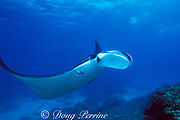 manta ray, Mobula alfredi or M. birostris, hovers at cleaning station while cleaner wrasse, Labroides dimidiatus, removes parasites from gills, N. Stradbroke Island, near Brisbane, Queensland, Australia ( Western Pacific Ocean )
