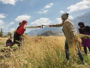 Picking wheat. In Roshorv village.