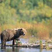 Alaskan Brown Bear, (Ursus middendorffi) Adult standing near river. Alaska Peninsula.