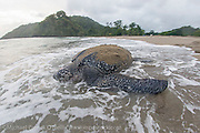 A female Leatherback Sea Turtle, Dermochelys coriacea, nests at sunrise on Grand Riviere, Trinidad, and returns to the Caribbean Sea. During peak nesting season in late May / early June, this beach will receive roughly 300-400 nesting Leatherback every night, making it one of the busiest and most important nesting locations in the world for the critically endangered species. Image available as a premium quality aluminum print ready to hang.