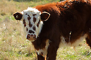 Brown and white spotted face beef calf.<br /> <br /> For larger JPEGs and TIFF versions contact EFFECTIVE WORKING IMAGE via our contact page at : www.photography4business.com