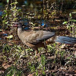 """Aracuã-do-pantanal (Ortalis canicollis) fotografado em Corumbá, Mato Grosso do Sul. Bioma Pantanal. Registro feito em 2017.<br /> <br /> <br /> <br /> ENGLISH: Chaco Chachalaca photographed in Corumbá, Mato Grosso do Sul. Pantanal Biome. Picture made in 2017."""