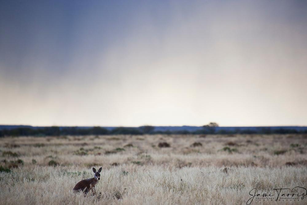 Red kangaroo  (Macropus rufus) in the gold desert grassland against a dramatic stormy sky,  Sturt Stony Desert,  Australia