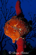 longlure frogfish or anglerfish, Antennarius multiocellatus, on red rope sponge, Dominica ( Caribbean Sea )