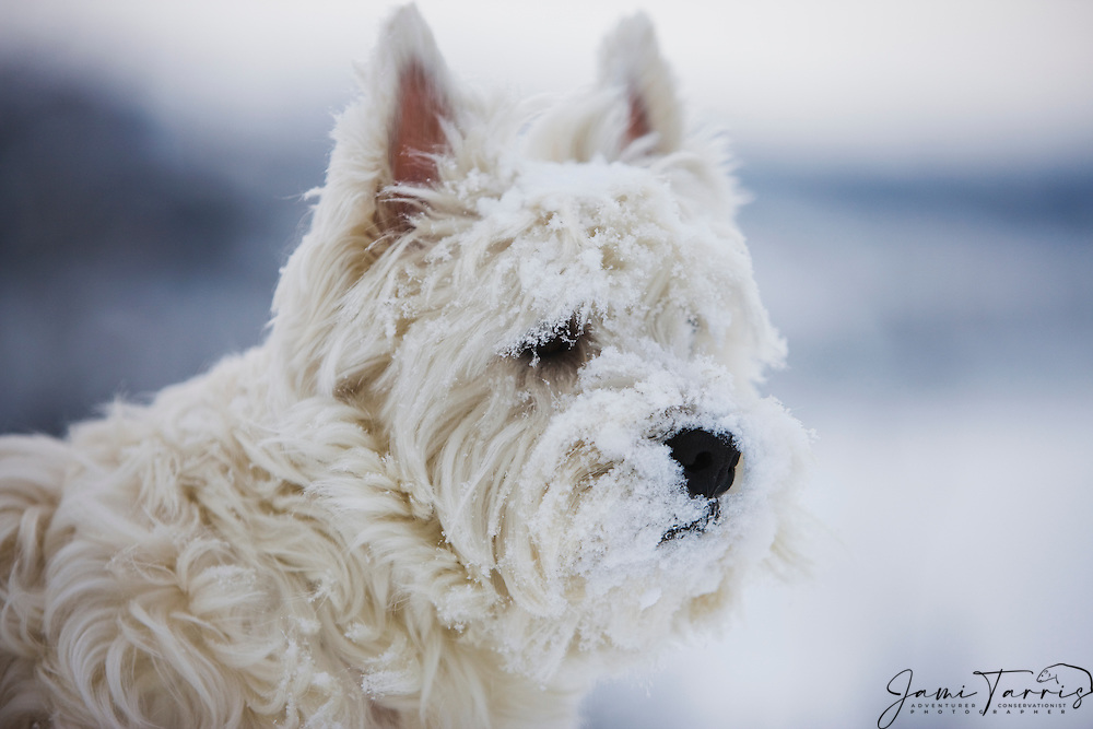 A close-up portrait of a face of a West Highland White terrier covered in snow and ice in the winter, Cowley Lake, The Yukon Territory, Canada