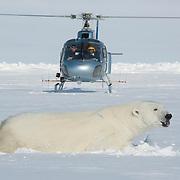 Dr. Steve Amstrup, USGS biologist, and Doc Gohmert, chopper pilot, prepare to land near an immobilized polar bear (Ursus maritimus). Beaufort Sea ice pack, Kaktovik, Alaska