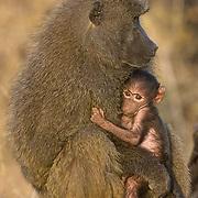 Olive Baboon, (Papio anubis) Mother and baby. Samburu National Reserve, Kenya. Africa.