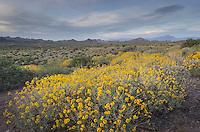 Sonoran Desert, Brittlebush (Encelia farinosa) in the foreground Superstition Mountains, Arizona