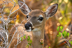 Long pine key is the only place these diminutive subspecies of white-tailed deer live. They are endangered, with only about 1100 remaining. Climate change, habitat loss and road kill are the primary threats to these tiny dear.