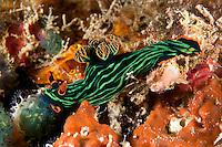 Nembrotha Nudibranch Feeding on Tunicate<br /> <br /> shot in Indonesia