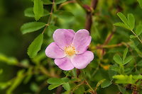 One of the many species of wild roses in the Pacific Northwest, the Wood's rose is a water-loving summer-bloomer, often found growing near lakes, ponds, and streams. This was photographed next to a pond in Kent, Washington.