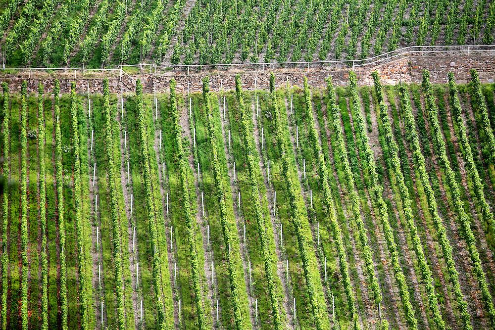 Mosel wine region vines, Germany.