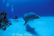 scuba diver and bottlenose dolphin, Tursiops truncatus, Roatan, Honduras ( Caribbean Sea )