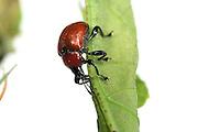 Oak Leaf Roller Beetle (Attelabus nitens) Göhrde, Germany (sequence 4/9) | Der Eichenblattroller (Attelabus nitens) perforiert die Mittelader des nun erschlafften Eichenblattes, da er es später noch arttypisch von unten nach oben aufrollen wird.