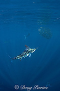 striped marlin, Tetrapturus audax, feeding on baitball of sardines, Sardinops sagax, off Baja California, Mexico ( Eastern Pacific Ocean )