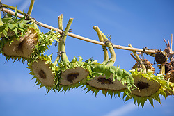 Collecting sunflower seeds by hanging them up on a line to dry ready for sowing. Helianthus annuus