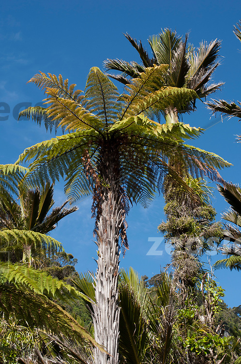 A large tree fern, racing to light, with a Nikau in the background.