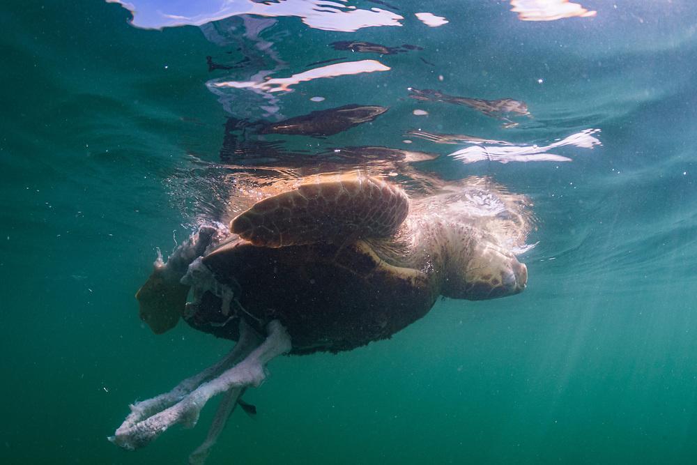 A Loggerhead sea turtle (caretta caretta) dead after, presumably, being hit by a boat propeller in the Florida Keys, USA.