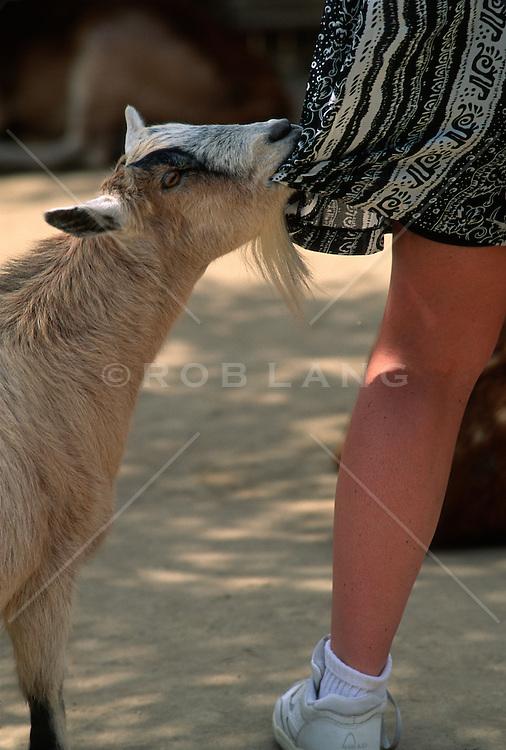Goat eating a woman's dress