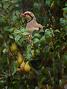Red Legged Partridge, Alectoris rufa, in European pear, Pyrus communis, in Lancashire, England
