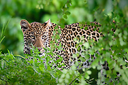 Leopard peers over green vegetation, Chobe National Park, Botswana, [LIMITED EDITION PRINTS WILL BE AVAILABLE, other uses are restricted, please contact me for more info.] © David A. Ponton