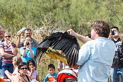 Showing black vulture to crowd at Raptor Show by Last Chance Forever rehabilitation center, Mitchell Lake Audubon Center, San Antonio, Texas, USA.