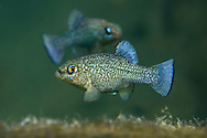 Comanche Springs Pupfish (displaying males)<br /> <br /> Isaac Szabo/Engbretson Underwater Photography