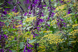 Salvia 'Amistad' with fennel - Foeniculum vulgare