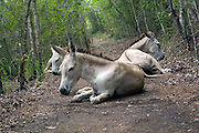 A herd of wild burros rests on the Lind Point Trail in the Virgin Islands National Park St. John, U.S. Virgin Islands.