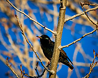European Starling. Image taken with a Nikon D300 camera and 80-400 mm VR lens (ISO 200, 400 mm, f/8, 1/320 sec).