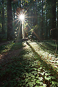 The sun bursts through the redwood forest in Humbolt Redwoods State Park, California