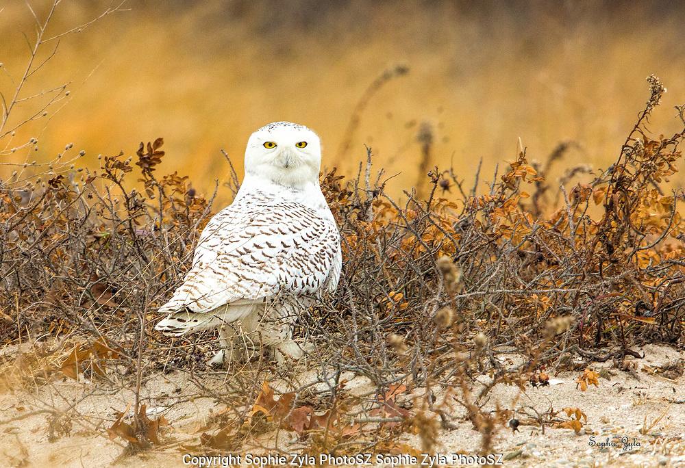 Snowy Owl Sweetness