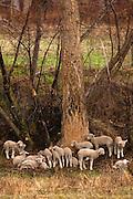 Sheep near National Bison Range, Montana.