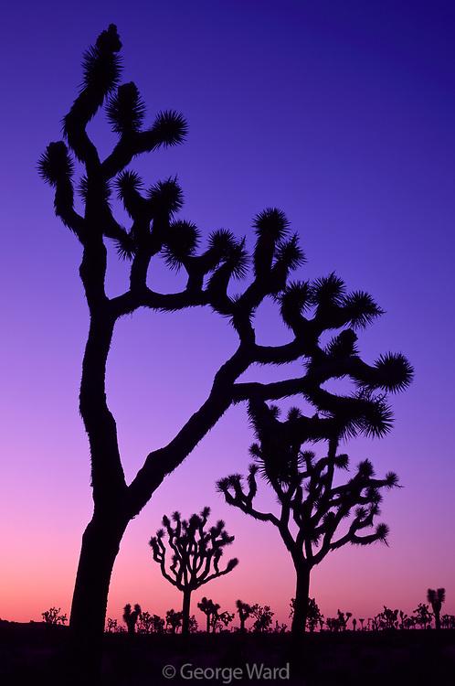 Joshua Tree at Dawn, Queen Valley, Joshua Tree National Park, California