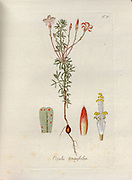 Woodsorrel (Oxalis tenuifolia). Illustration from 'Oxalis Monographia iconibus illustrata' by Nikolaus Joseph Jacquin (1797-1798). published 1794