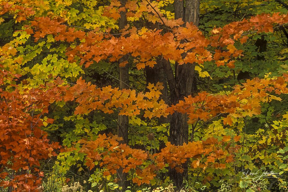 Deciduous forest with maple in peak autumn colour, Killarney PP, Ontario, Canada