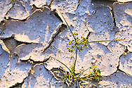 A young grass plant pushes up through hard, cracked ground. WATERMARKS WILL NOT APPEAR ON PRINTS OR LICENSED IMAGES.